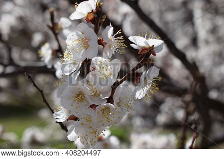 Beautiful Closeup Spring Blossoming Tree. Cherry Blossom In Spring With Soft Focus, Background