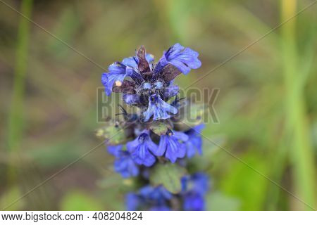Blue Salvia In Macro Shot Showing Its Detail. Salvia Pratensis Sage Flowers In Bloom, Flowering Blue