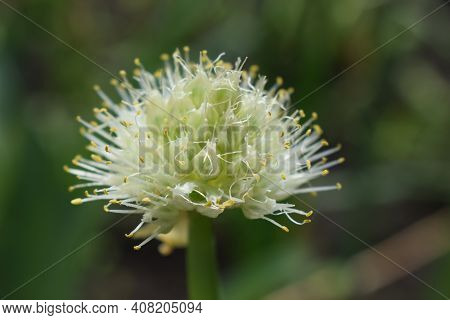 Allium Polyanthum Onions Inflorescence Having Seeds. Selective Focus On Blooming Onion Flower With N