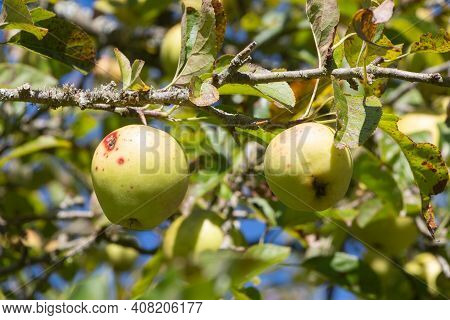 Apples Ripening On An Apple Tree In An Orchard