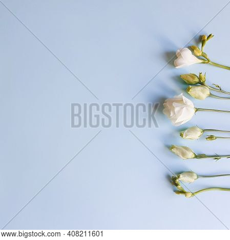 Flower Line Of White Eustoma Flowers On Light Blue Background. Top View, Copy Space. Empty Space For