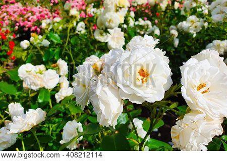 Spray White Garden Rose A Lot. Flower Bush. Plantation Of Peony Garden English Roses.