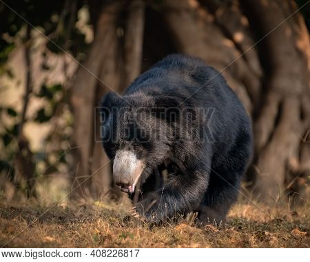 A Large Adult Sloth Bear (melursus Ursinus), Is Walking About In The Forests Of The Ranthambore Tige