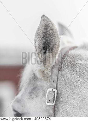 White Horse Ear, Close-up, Horse In Paddock In Winter. High Quality Photo