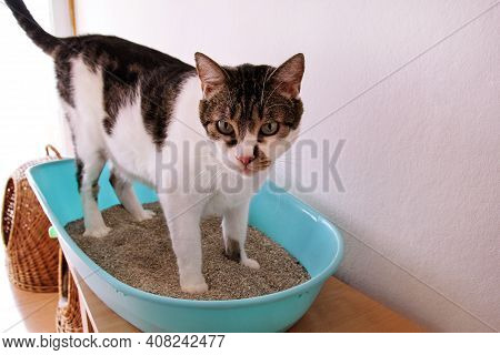 Cat Using Toilet, Cat In Litter Box, For Pooping Or Urinate, Pooping In Clean Sand Toilet. Cleaning