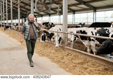 Contemporary serious mature male owner of animal farm consulting someone on smartphone while walking along paddock with cattle