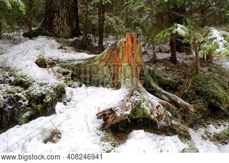 old wooden stump in winter forest