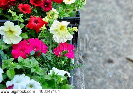 Boxes With Seedlings Of Flowers Petunia For Planting Outdoor.