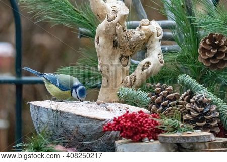 Great Tit Or Tit Is Looking For Seeds. In A Natural Background, With Pine Cones, Red Berries, Branch