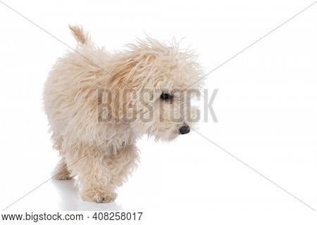 cute caniche dog sniffing something on the ground against white background