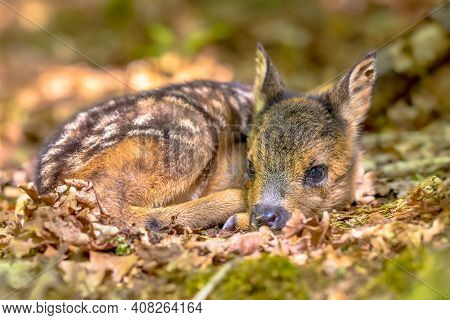 Adorable Roe Deer Fawn (capreolus Capreolus) Resting In Reliance Of Camouflage In Forest. Friesland,