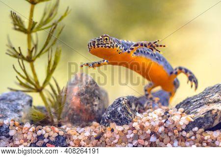 Alpine Newt (ichthyosaura Alpestris) Colorful Male Aquatic Amphibian Swimming In Freshwater Habitat