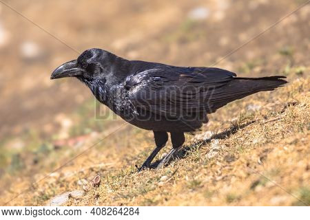 Common Raven (corvus Corax) Perched On Rock In Spanish Pyrenees, Catalonia, Spain. April. They Feed