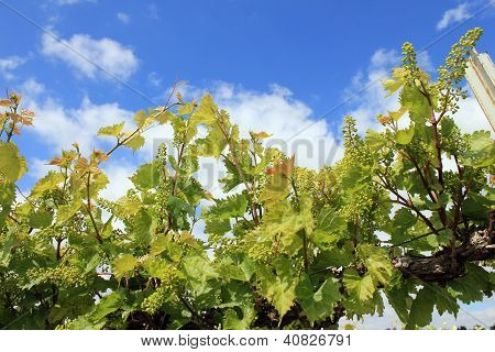 Vineyard young grapes and leaves