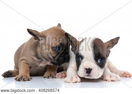 fawn french bulldog dog wispering something to his friend against white background