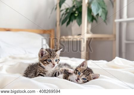 Two Little Striped Playful Kittens Playing Together On Bed At Home. Looking Into The Camera. Healthy