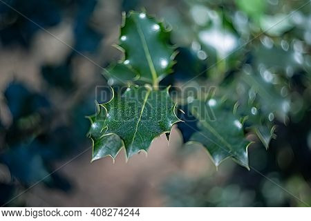 Close-up Of Holly Branch Or Christmas Tree. Nature Background Of Holly Branches In Summer. Bokeh. Sh