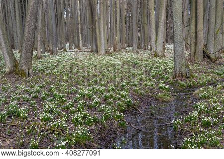 early spring forest with spring snowflake, Vysocina, Czech Repubic
