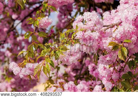Blooming Pink Flowers Of Sakura. Cherry Blossom Season In Springtime. Close Up Nature Background