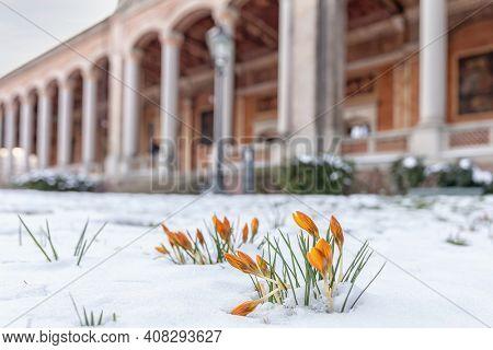 Crocusse Looking for Spring. Germany. Baden-Baden