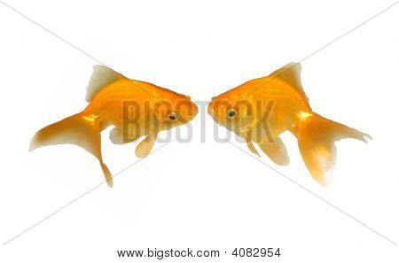 Lovely Kissing Goldfishes - Wedding Invitation - Two beautiful friendly goldfishes isolated on white background (can be used individually) poster