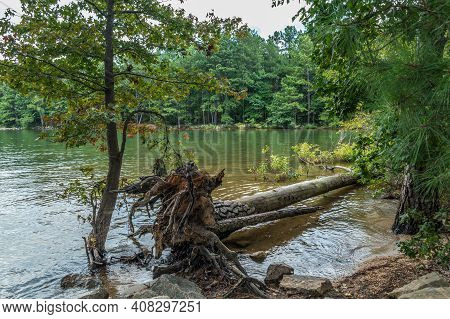 Full Size Pine Tree Fallen Into The Lake At The Shoreline Due To Erosion From Low Water Levels At Th