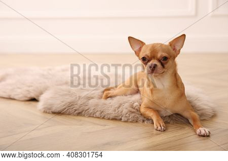 Cute Chihuahua Dog Lying On Warm Floor Indoors, Space For Text. Heating System
