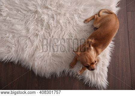 Cute Chihuahua Dog Lying On Warm Floor, Top View With Space For Text. Heating System