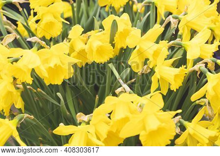 Yellow Daffodils, Selective Focus, Tinted Image, Daffodils Blooming In The Spring In The Garden At H