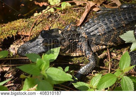 Baby Alligator Seen In The Florida Everglades