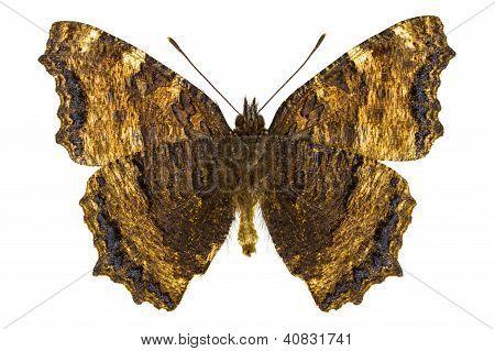 Nymphalis Xanthomelas (concha de tortuga patas amarillas)