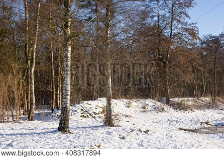 Dutch Woodland With Birches In Wintertime With Snow And Bright Sunshne