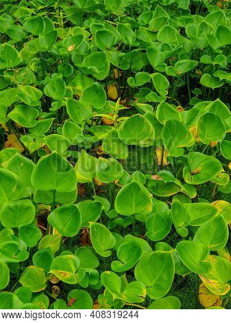 Arum Maculatum. A Carpet Of Green Leaves Covers The Swampy Area