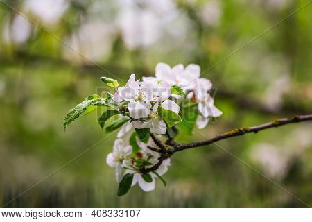 The Blossoming Cherry In A Botanical Garden Of The City Of Minsk, Belarus. Spring In Minsk. Blooming