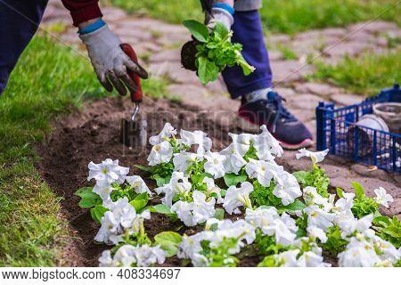 Gardener Works In A Botanical Garden Of The City Of Minsk, Belarus. Spring In Minsk. Blooming Lilacs