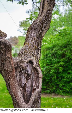 Old Tree At The Botanical Garden Of The City Of Minsk, Belarus. Spring In Minsk. Blooming Lilacs And