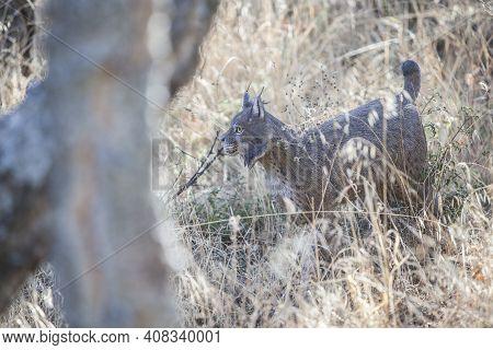 Life-sized Iberian Lynx Toy In Nature. Selective Focus