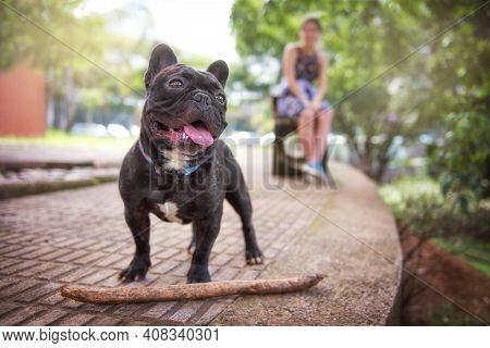 Girl In The Park With A French Bulldog. French Bulldog In The Park Plays With A Stick.