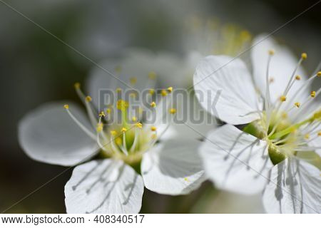 Spring Flower Closeup. Springtime Blossom Background. Beautiful Nature With Blooming Trees