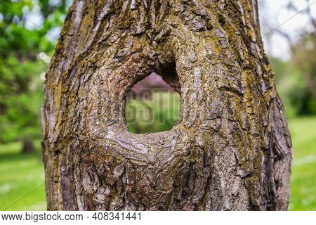 Hole In The Tree At The Botanical Garden Of The City Of Minsk, Belarus. Spring In Minsk. Blooming Li