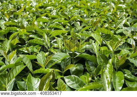 Young Coffee Plant In Coffee Field - Coffea