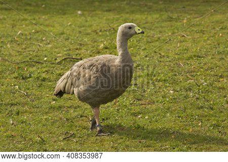Cape Barren Goose (cereopsis Novaehollandiae) In Zoo.