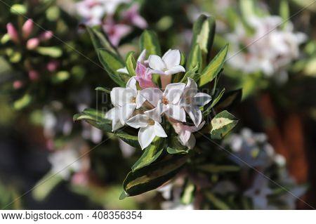 Clusters Of Daphne Burkwoodii Flower In Full Bloom