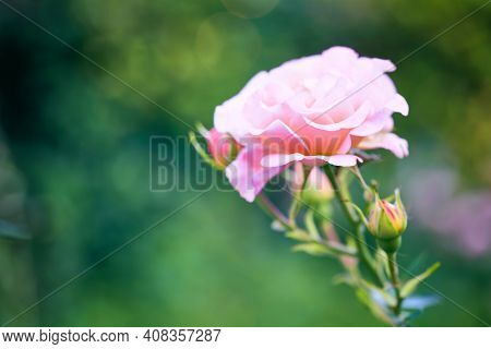 Closeup Buds Of Rose On Background Of Greenery. Beautiful Pink Roses Blooming In Garden Close Up, Se