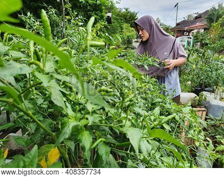 Asian Muslim Woman Harvesting Green Chili Pepper, Bird's Eye Chili Hangs On Tree, Home Garden Vegeta