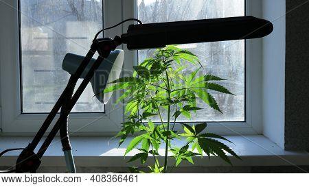 Conoli Bush Standing By The Window Under Additional Lighting Of The Lamp, Home Growing Of Marijuana,