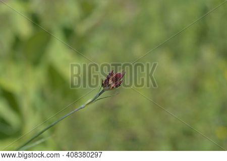 Croatian Carnation Pink Flower Buds - Latin Name - Dianthus Giganteus Subsp. Croaticus