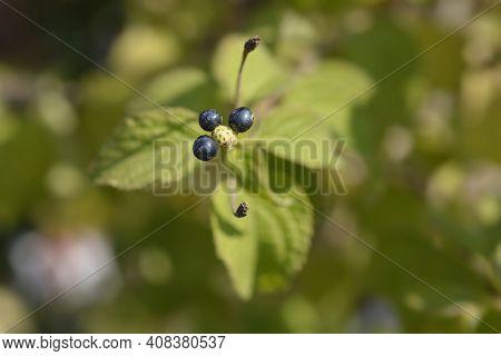 Shrub Verbena Fruit - Latin Name - Lantana Camara