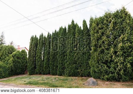 Thuja Hedge. Evergreen Wall. Green Fence. Tall Trees. Business Services Of A Professional Gardener F