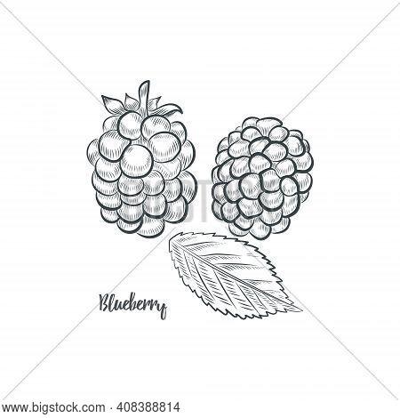 Blackberry Sketch Vector Illustration.hand Drawn Blackberry Isolated On White Background.